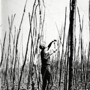 Hops, stringing the fields, 1930