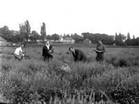 Mitcham lavender, Cutting