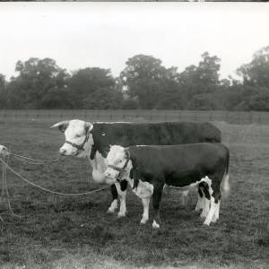 G36-214-03 Two Herefords with a handler in a field.jpg