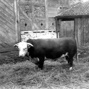 G36-321-09 Hereford bull in yard.jpg
