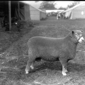 G36-330-07 Large sheep at show.jpg