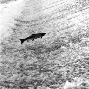 A Salmon jumping the weir on the River Lugg