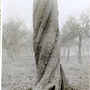 Twisted trunks in trees, pear tree