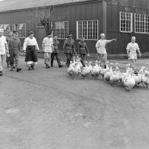 Goose Herding Bradbury lines, Hereford, 1956