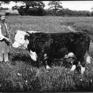 G36-041-01 Bull with handler wearing cap, waistcoat and corduroys.jpg