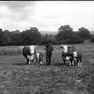 G36-303-01 Farmer holding two cows with calves.jpg
