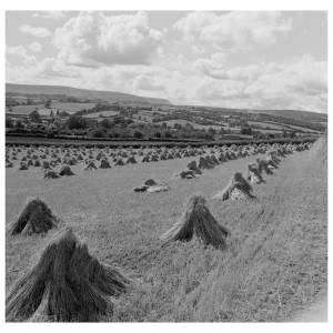 Harvest in the Golden valley, Vowchurch in 1956.