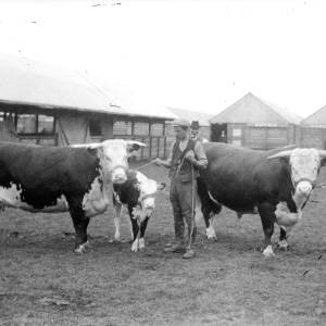G36-542a-07 Bull, cow and calf with handlers at a show.jpg