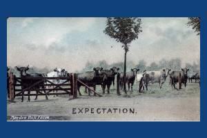 Morden Hall Farm: Cows