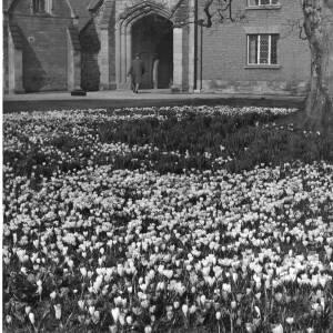 "267 - Bed of crocuses ""Spring"""