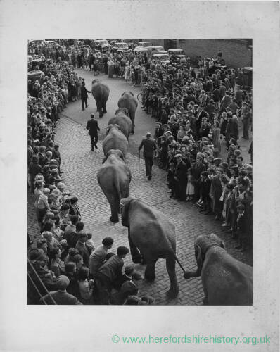 687 - Elephants linking trunk to tail being led through town