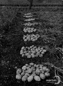 Carters Tested Seeds: Crop of seed potatoes