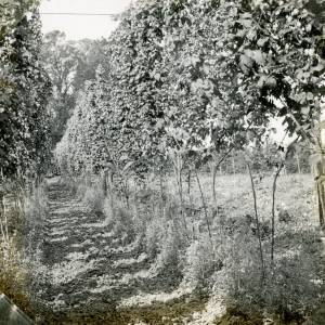 CJS028 Hop picking, c.1930s.jpg