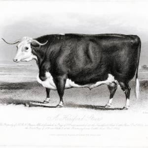Hereford Steer, owned by HRH Prince Albert