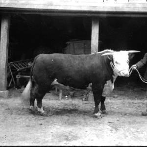 G36-144-08 Bull with handler.jpg
