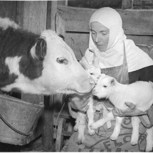 259 - Nun holding two tiny calves with mother cow looking