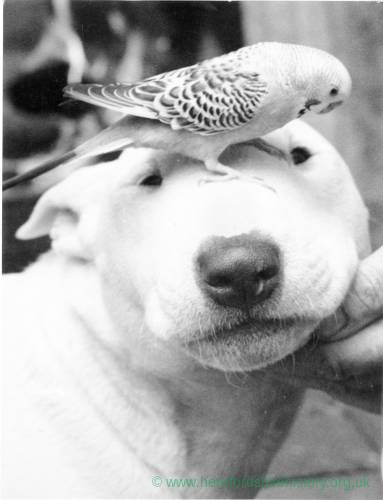A white bull terrier with a budgie on its head.