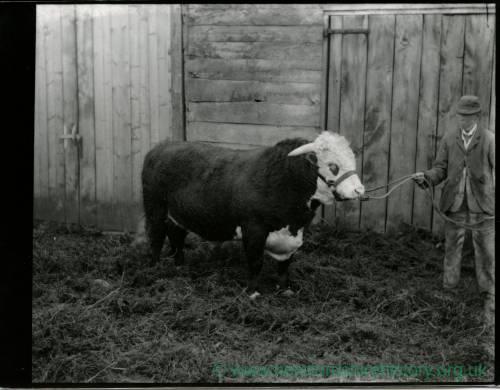 G36-021-04 Man with (same) Hereford bull.jpg