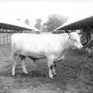 G36-226-13 Light coloured bull on halter at showground.jpg