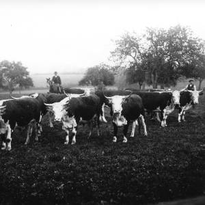 G36-087-03 Cattle in old orchard, with farm workers.jpg