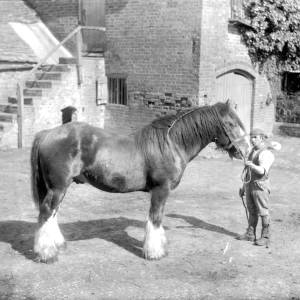 G36-319-01 Heavy horse in stable yard.jpg