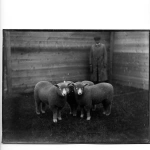 G36-331-11 Man with three sheep.jpg