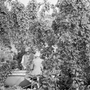 A Couple Pick Hops into a Crib, Herefordshire, 1966