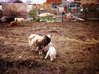 Deen City Farm, Windsor Avenue: Rare breed sheep