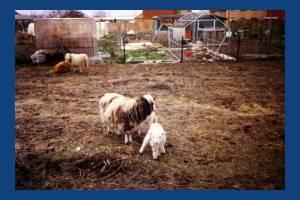 Deen City Farm, Windsor Avenue: Rare breed sheep