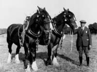 Shire Horses, Wimbledon Common