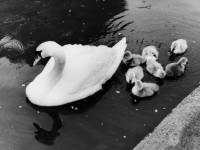 Cannon Hill Common: A swan and her newly hatched cygnets