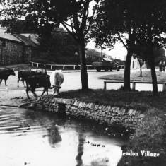Cattle Drinking at Cleadon Village Pond