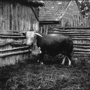 G36-226-01 Bull standing in straw covered yard.jpg