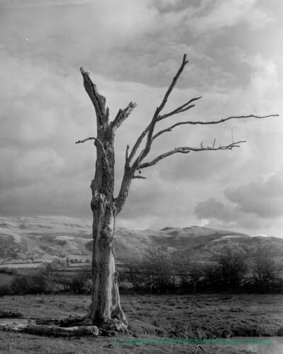 184 - Lone bare tree with mountains in the background