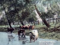Morden Hall Farm: Cattle in the River Wandle