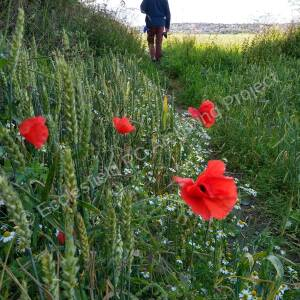 Daily Walk durning lockdown amongst the Poppies