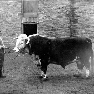 G36-543-03 Bull with handler outside a barn.jpg