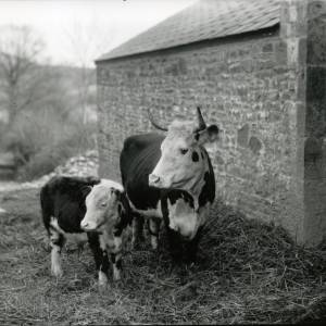 G36-005-10 Cow with calf.jpg