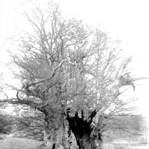 G36-320-04 Giant oak tree possibly at Eardisley.jpg