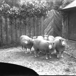 G36-327-08 Sheep in front of rustic gate.jpg
