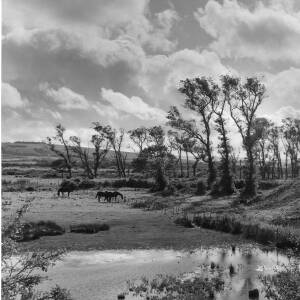 266 - Three horses in countryside