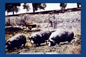 Morden Hall Farm: Prize Pigs