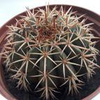 Guilhermecactus-45852