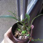 Collecion de Honeycactus