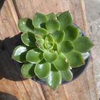 Kaktus-grys-46049