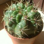 Collecion de Lauracactusera