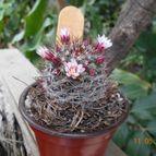 Mammillaria fittkaui