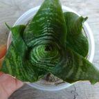 Collecion de alcachofablue