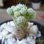 Collecion de cactusol