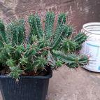 Euphorbia mammillaris